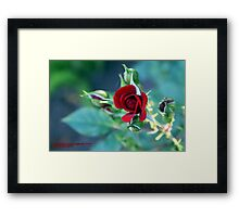 "Minature ""RED"" in bloom; Patricia Merz Greenhouse/Gardens, Gr. Hills, CA USA Framed Print"