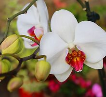Orchid splendor by Dulcina