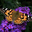 Painted Lady Butterfly by AnnDixon
