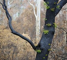 Regeneration after bushfire, Yarra Valley, Victoria by Tony Lupton