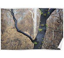 Regeneration after bushfire, Yarra Valley, Victoria Poster