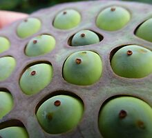 Lotus Flower Seed Pod Macro by Keith Richardson