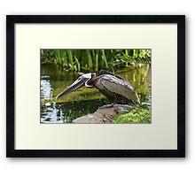 A pelican swimming in a pond Framed Print