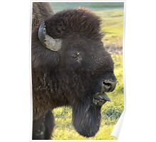 Bison Sticking Tongue Out  Poster