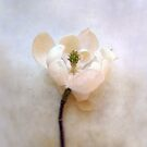 Sweet Bay Magnolia Bloom by LouiseK