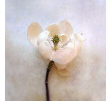 Sweet Bay Magnolia Bloom Photographic Print