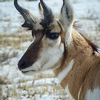 Trophy Pronghorn Buck by Linda Sparks