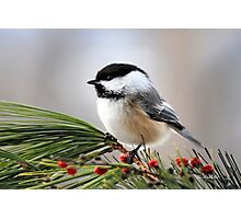 Pine Chickadee Photographic Print