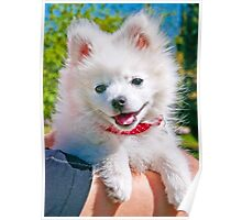 small spitz Poster