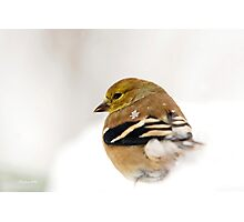 White Gold Goldfinch Photographic Print