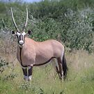 Black & Tan – A Proper Oryx Pose by Owed to Nature