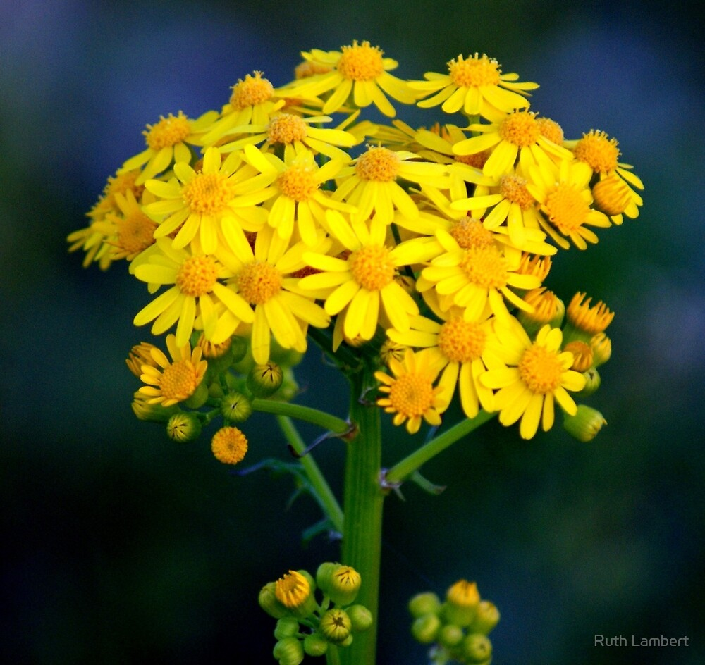 Weeds are beautiful too...... by Ruth Lambert