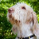 Orange & White Italian Spinone ~ Rosie by heidiannemorris