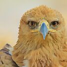 Tawny Eagle - Focus Intensity - African Wild Bird Background by LivingWild