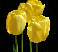 Yellow Tulips by Sharon Woerner
