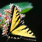 Swallowtail Butterfly And Milkweed Flowers by Christina Rollo
