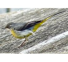 Yellow Wagtail Photographic Print