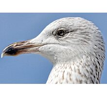 Young Gull Photographic Print