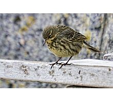 Rock Pipit 2 Photographic Print