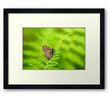 Banded Hairstreak Butterfly Framed Print