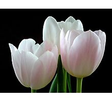 Three Tulips Photographic Print