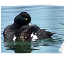 Tufted Duck Having A Wash n Brush Up Poster