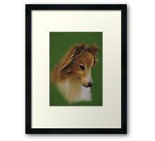 Shy Sheltie Framed Print