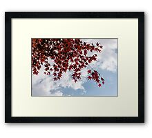 Japanese Maple Red Lace - Horizontal View Downwards Right Framed Print