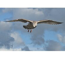 Juvenile Gull In Flight Photographic Print