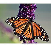 Wonderful Monarch Photographic Print