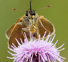 Small Skipper Butterfly by Neil Bygrave (NATURELENS)