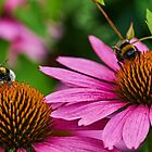 Two bumble bees by Mark Bangert