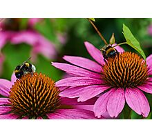 Two bumble bees Photographic Print
