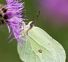 Brimstone Butterfly by Neil Bygrave (NATURELENS)