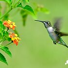 Hummingbird Approaching the Flower by TJ Baccari Photography