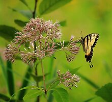 Eastern Tiger Swallowtail by Adam Kuehl
