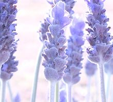 French Lavender by Gabrielle  Lees