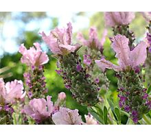 Italian Lavender Photographic Print