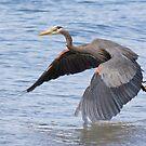 Great Blue Heron Launch by Tom Talbott
