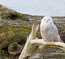 Snowy Owl Squint by Tom Talbott