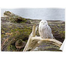 Snowy Owl Squint Poster
