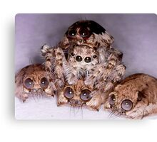 jumping spider hides between spider skulls Canvas Print