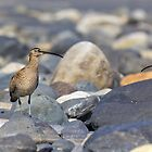 Peek-a-boo Whimbrel by Tom Talbott