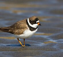 Friendly Plover by Tom Talbott