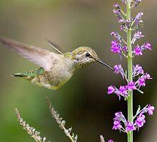 Juvenile Anna's Hummingbird by Tom Talbott
