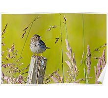 Savannah Sparrow on a Post Poster
