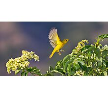 Yellow Warbler Leap Photographic Print