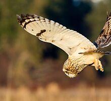 Diving Short-eared Owl by Tom Talbott