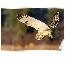 Diving Short-eared Owl Poster