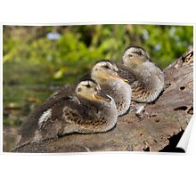 Ducklings in a Row? Poster
